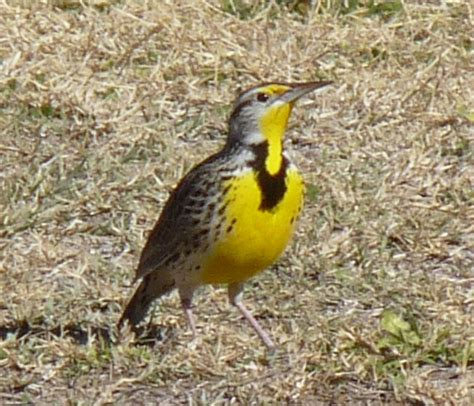 best 28 bird of oregon western meadowlark state bird