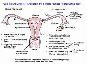 Oviduct Definition Gallery