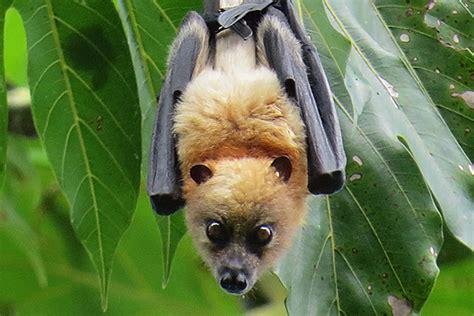 volpe volante isole salomone denti delle volpi volanti usati come