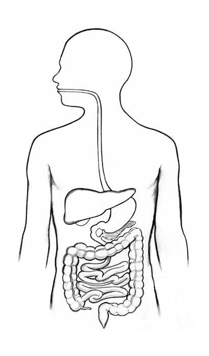 Digestive System Diagram Labels Niddk Unlabeled Torso