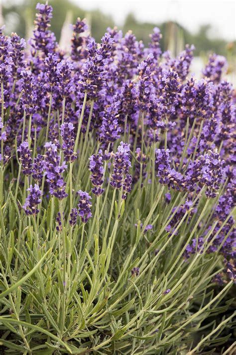 varieties of lavender top 10 lavender varieties to grow in your garden top inspired
