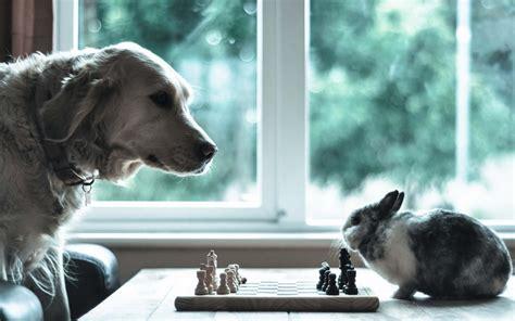 Dog Rabbit Chess Situation Animal Humor Funny