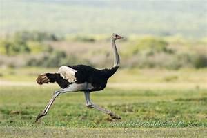 Running Ostrich Bird Photography