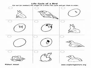 Life Cycle Of A Bluebird Worksheet For 2nd
