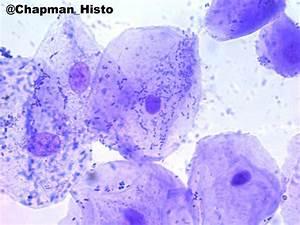 "Dr Lila Landowski on Twitter: """"@Chapman_Histo: cheek cell ..."