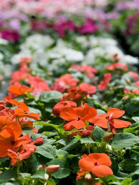 annual shade flowers top shade loving annuals shades plants for shade and plants