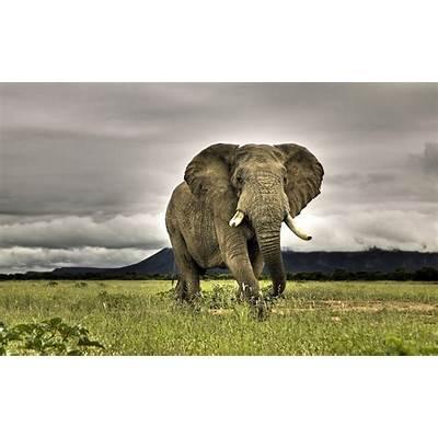 African elephant wallpaper - 117493