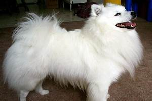 Miniature American Eskimo Dog Information, Facts, Pictures ...