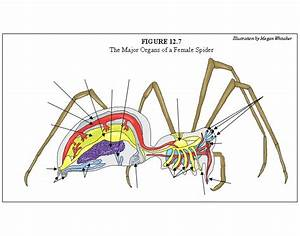 The Major Organs Of A Female Spider
