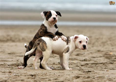 how much do american bulldogs shed american bulldog breed facts highlights buying
