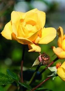 Gelbe Rose Bedeutung : welche bedeutung haben gelbe rosen ~ Whattoseeinmadrid.com Haus und Dekorationen