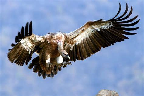 kostenlose bild geier vogel flug