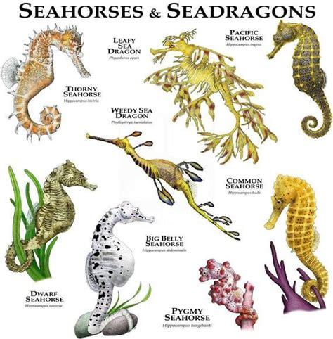 seahorse dragon sea hippocampus leafy fine species seahorses dwarf biology poster mammals marine