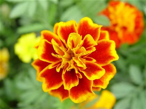 Black Gold Mighty Marigolds For Organic Gardening