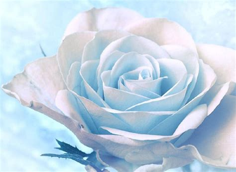 White Pretty Backgrounds by Beautiful White Roses Wallpaper Wallpapersafari