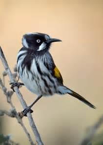 New Holland Honeyeater Birds