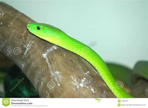 african green african green mamba snake stock image image of dangerous