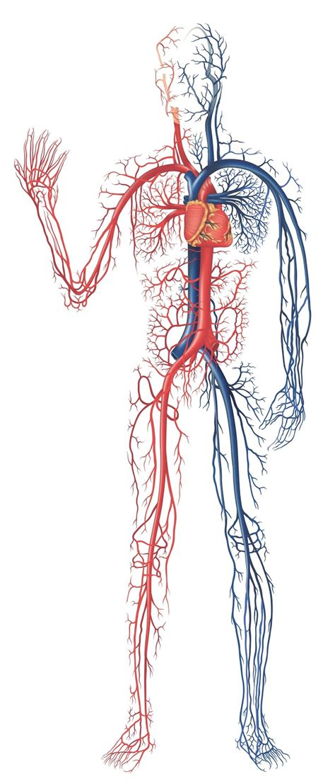 Human Diagram Unlabeled by Digestive System Of Human Human Circulatory System