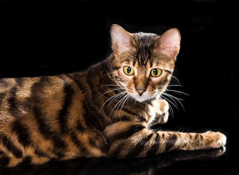 7 Cat Breeds That Look Like Wild Animals Yummypets