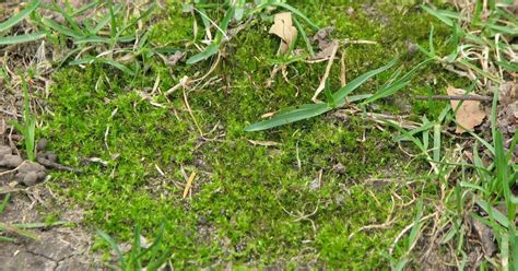 how to rid your lawn of moss flatten bumps