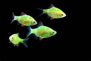 GloFish® Gallery