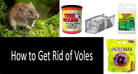 how to get rid of moles in my yard how to get rid of voles the nine best vole traps repellents and poisons