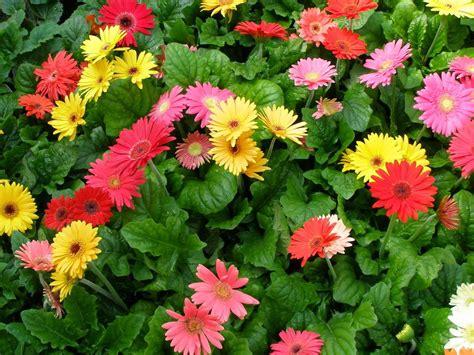 gerbera daisies glorious gerbera daisies