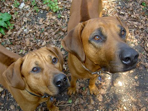 do rhodesian ridgebacks drool drooling 2 safety 2 safety