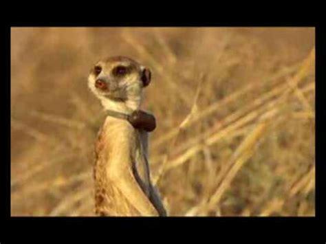 meerkat manor tribute  rocket dog youtube