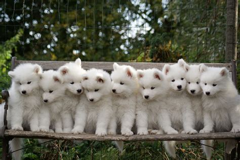 Samoyed Puppies Lil Cute Stuff Pinterest
