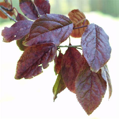 purple leaf trees identification ufei selectree a tree selection guide