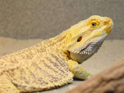 bearded dragon basking light bearded dragon 5