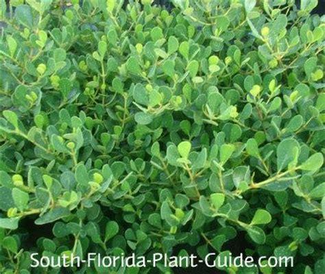 dwarf clusia    growing spreading shrub