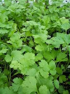 How To Grow Cilantro (Coriander) From Seeds. Growing ...