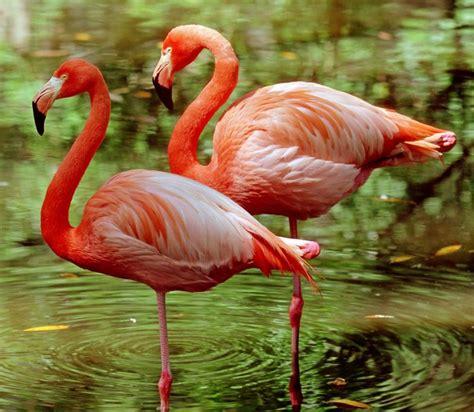 flamingo balancing act saves energy bbc news