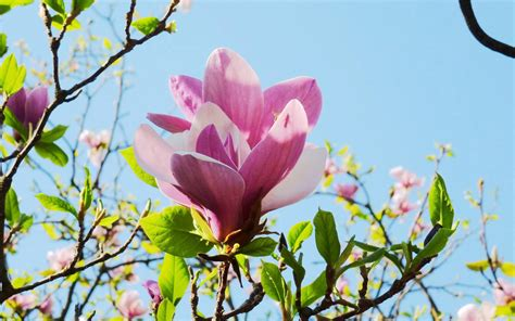 Magnolia Wallpapers Group With 60 Items