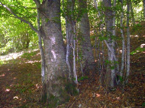 Walking in a dense wood of Beech Trees,   Arbustum Monsleonis