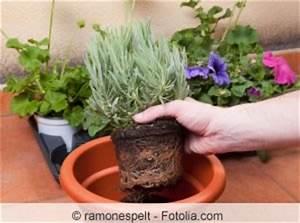 Lavendel Vermehren Wasserglas : lavendel vermehren stecklinge samen co ~ Lizthompson.info Haus und Dekorationen