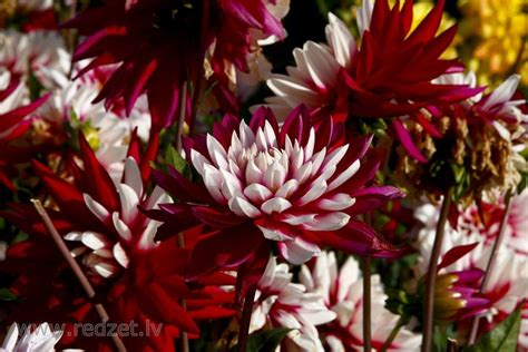 Dālijas ziedi | Georgine, Plants, Gifts