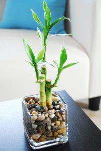 indoor lucky bamboo grow  water homemydesign