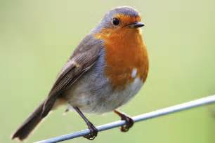 british birds the robin age of innocence