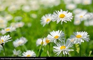 Was Sind Frühlingsblumen : fr hlingsblumen margeriten in einer grean wiese lizenzfreies bild 2064751 bildagentur ~ Whattoseeinmadrid.com Haus und Dekorationen