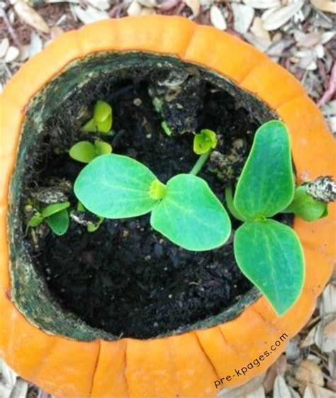 planting pumpkin seeds planting pumpkin seeds in a pumpkin pre k pages