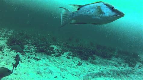snapper underwater grouper hogfish fishing mangrove gag gopro outdoors360 aq