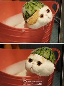 Snoopy exotic shorthair cat   charmingpet