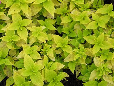 coleus lifelime annual flower trials at bluegrass lane horticulture section cornell university