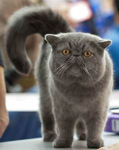 Exotic Shorthair Cat Breed Profile Metaphorical Platypus