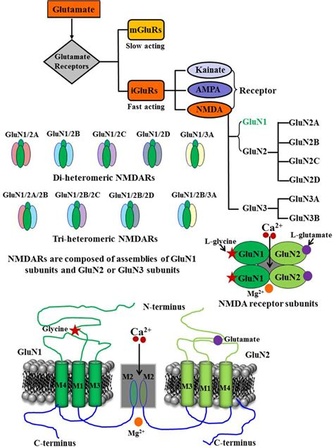 Full Form Of Nmda by Frontiers Nmda Receptor Function During Senescence