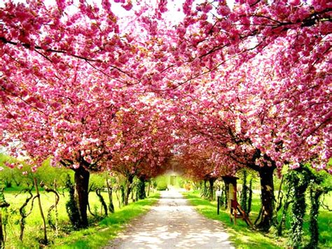 japanese trees with pink flowers cherry blossoms in tokyo 7 incredible must see places in asia