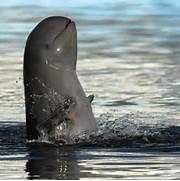 Irrawaddy dolphin   ot...Irrawaddy Dolphin